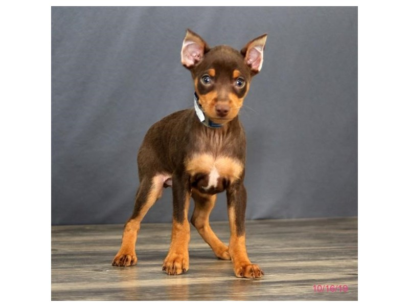 Miniature Pinscher-Male-Chocolate / Tan-2504429-Petland Athens, OH
