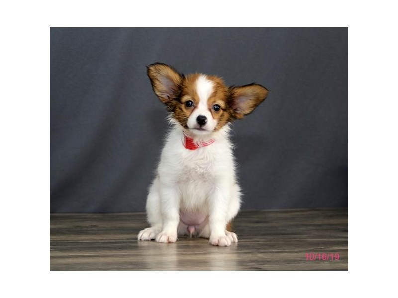 Papillon-Female-Brown / White-2504430-Petland Athens, OH
