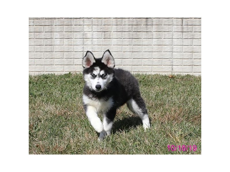 Siberian Husky-DOG-Female-Black / White-2504431-Petland Athens, OH