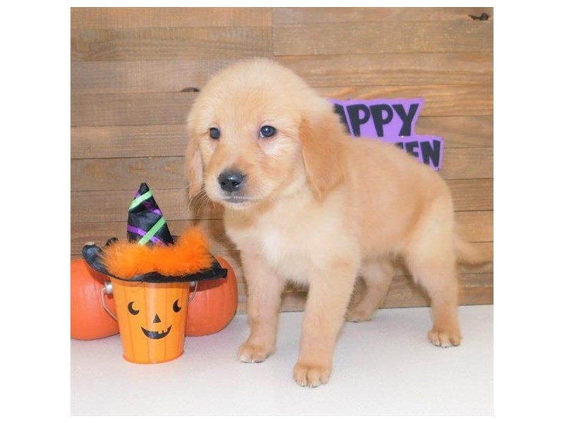 Golden Retriever-Female-Golden-2511339-Petland Athens, OH