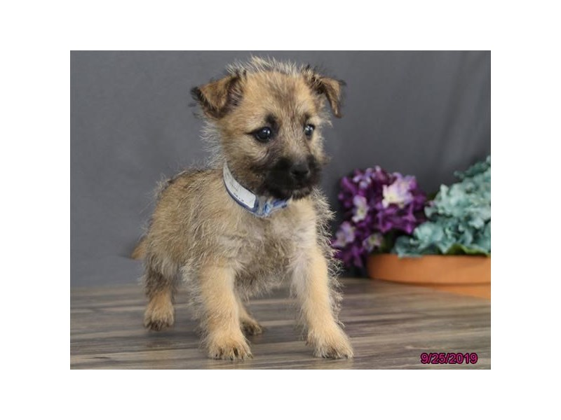 Cairn Terrier-Male-Wheaten-2512142-Petland Athens, OH