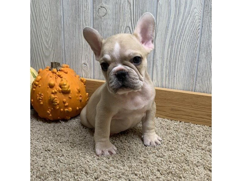 French Bulldog-Male-Blue Fawn-2517664-Petland Athens, OH
