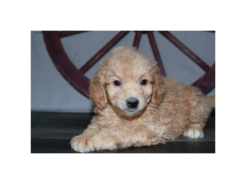 Goldendoodle Mini 2nd Gen-Male-Apricot-2533488-Petland Athens, OH