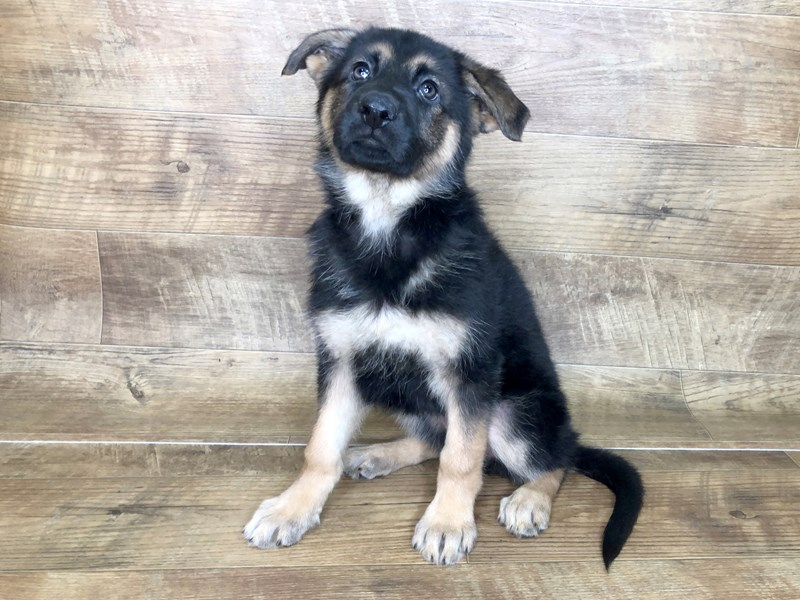 German Shepherd-DOG-Female-Black Tan-2537313-Petland Athens, OH