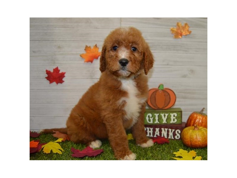 Goldendoodle-Female-Red-2545062-Petland Athens, OH