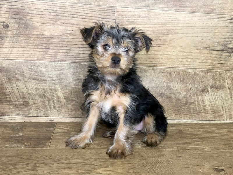 Yorkshire Terrier-DOG-Male-BLK TAN-2537209-Petland Athens, OH