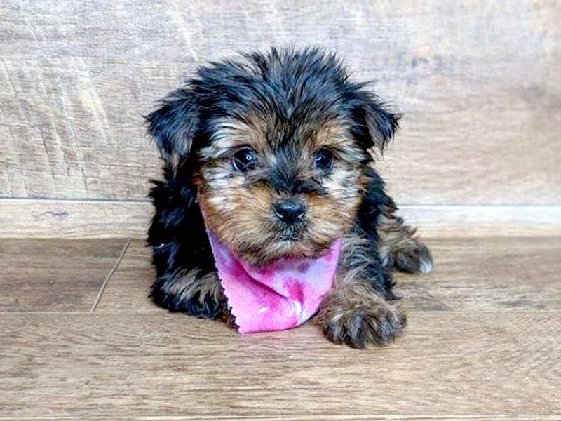 Yorkshire Terrier-Female-BLK TAN-2553497-Petland Athens, OH