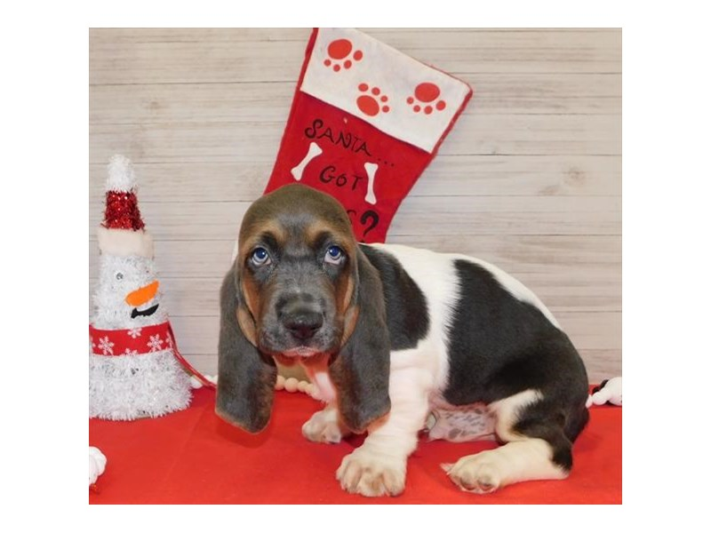 Basset Hound-Male-Blue White / Tan-2557308-Petland Athens, OH