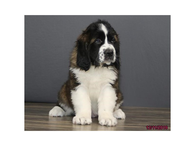 Saint Bernard-DOG-Female--2563328-Petland Athens, OH