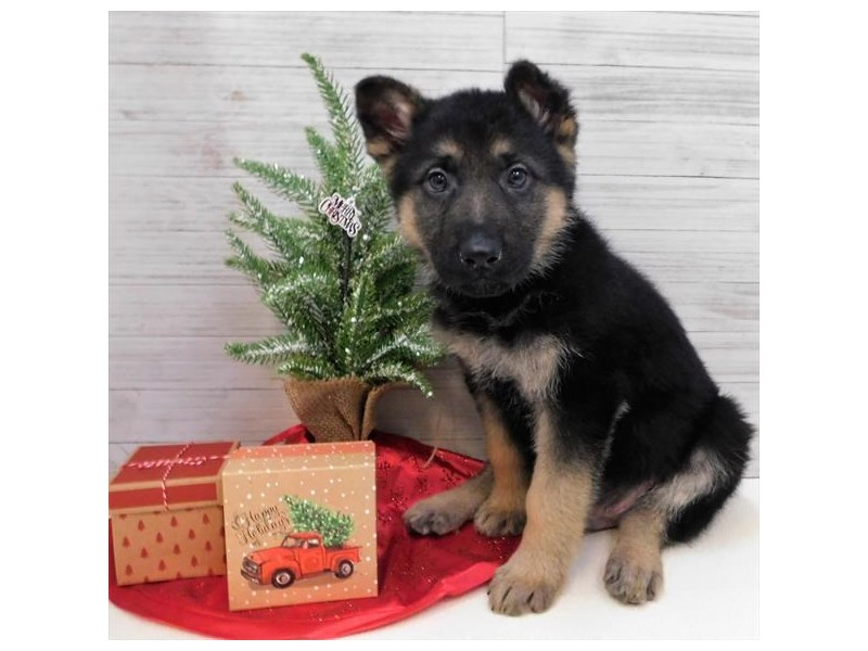 German Shepherd Dog-Male-Black / Tan-2563473-Petland Athens, OH
