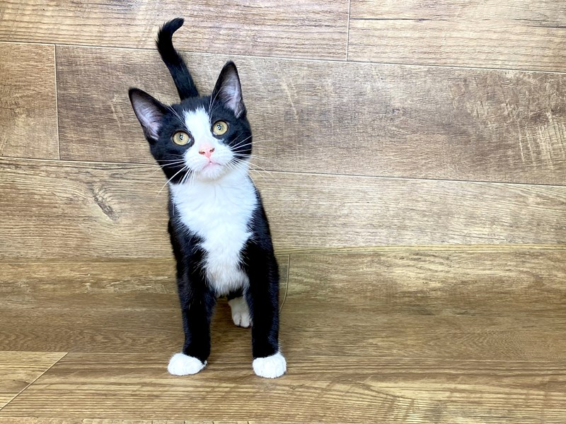 American Shorthair-Male-Black and white-2565387-Petland Athens, OH