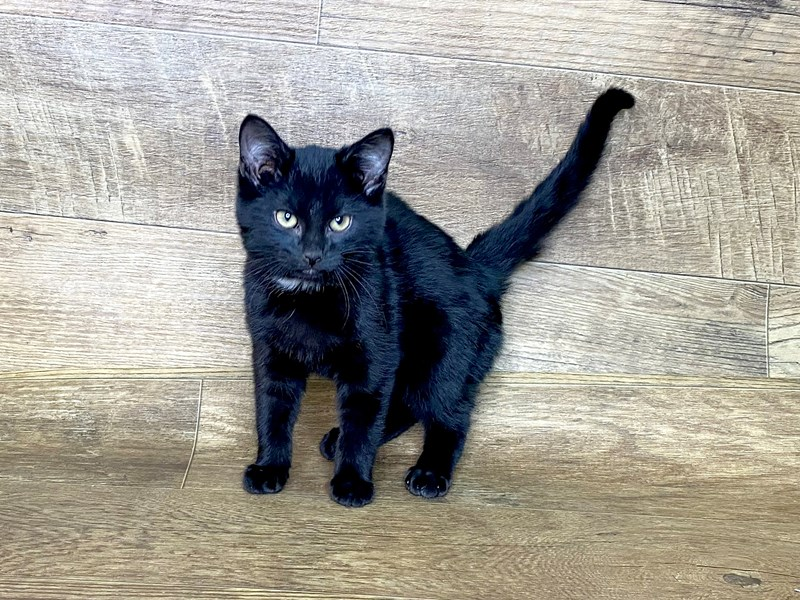 American Shorthair-CAT-Male-Black-2565107-Petland Athens, OH