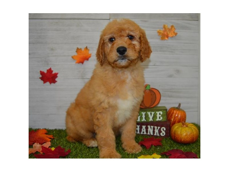 Goldendoodle-Male-Golden-2545063-Petland Athens, OH