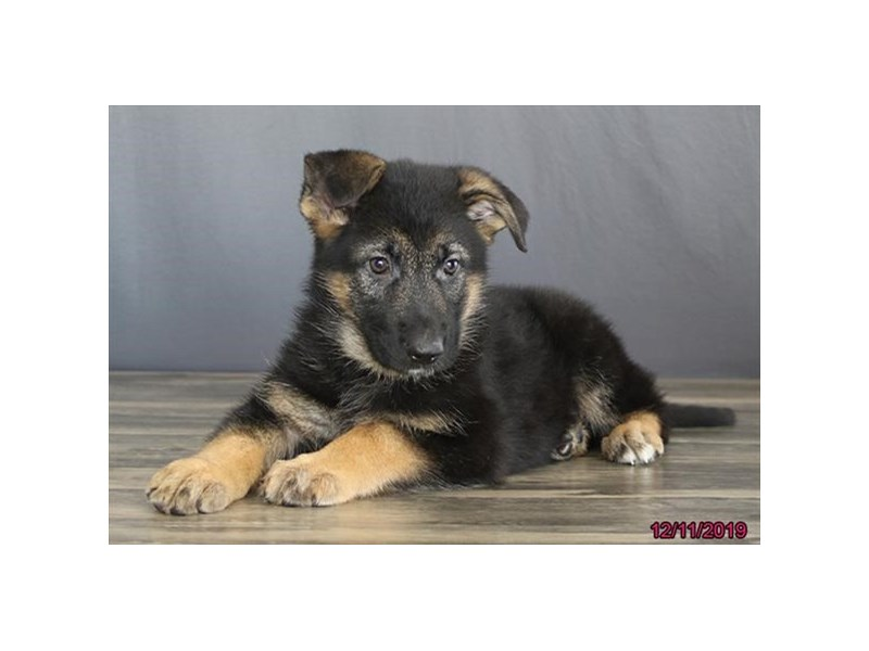 German Shepherd Dog-Female-Black / Tan-2563324-Petland Athens, OH