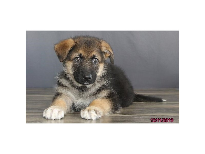 German Shepherd Dog-Male-Black / Tan-2563325-Petland Athens, OH