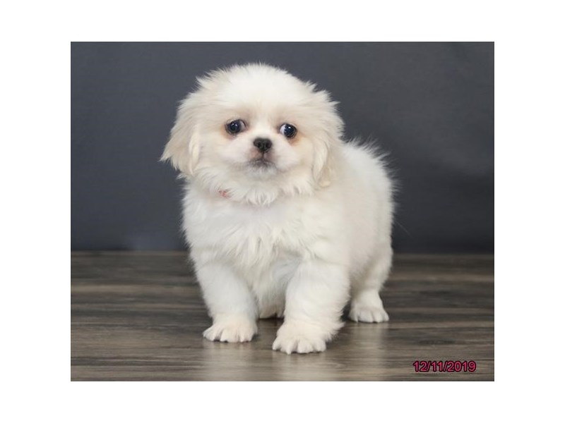 Pekingese-DOG-Female-Cream-2563327-Petland Athens, OH