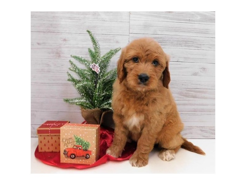 Goldendoodle-Female-Dark Golden-2563468-Petland Athens, OH