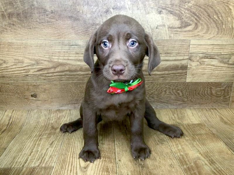 Labrador Retriever-Female-Chocolate-2561218-Petland Athens, OH
