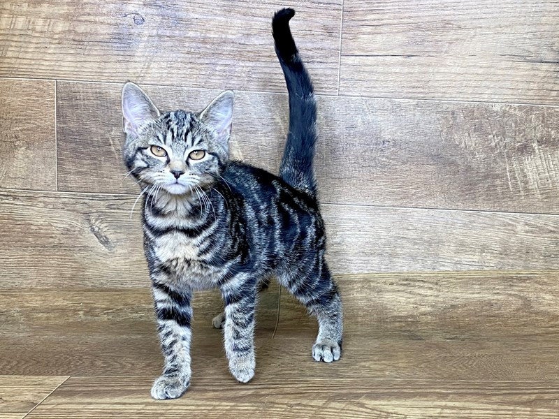 American Shorthair-Male-tabby-2565390-Petland Athens, OH