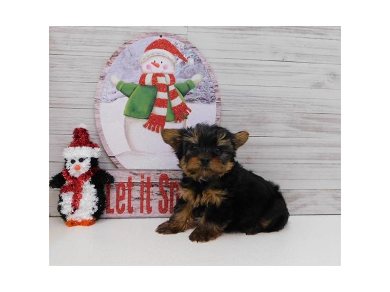 Yorkshire Terrier-DOG-Male-Black / Tan-2574229-Petland Athens, OH