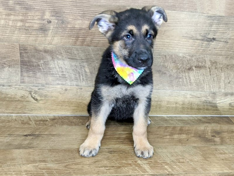 German Shepherd-Male-black tan-2571246-Petland Athens, OH