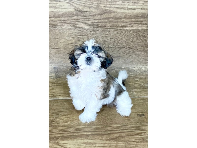Shih Tzu-Female-brown white-2576901-Petland Athens, OH