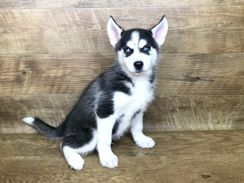 Siberian Husky-DOG-Male-Black White-2582295-Petland Athens, OH