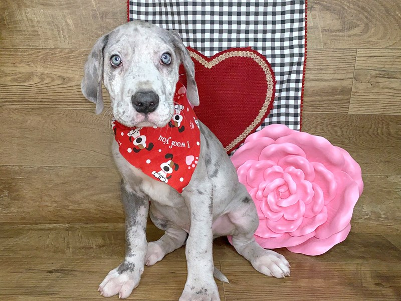 Great Dane-Male-Gray-2595582-Petland Athens, OH