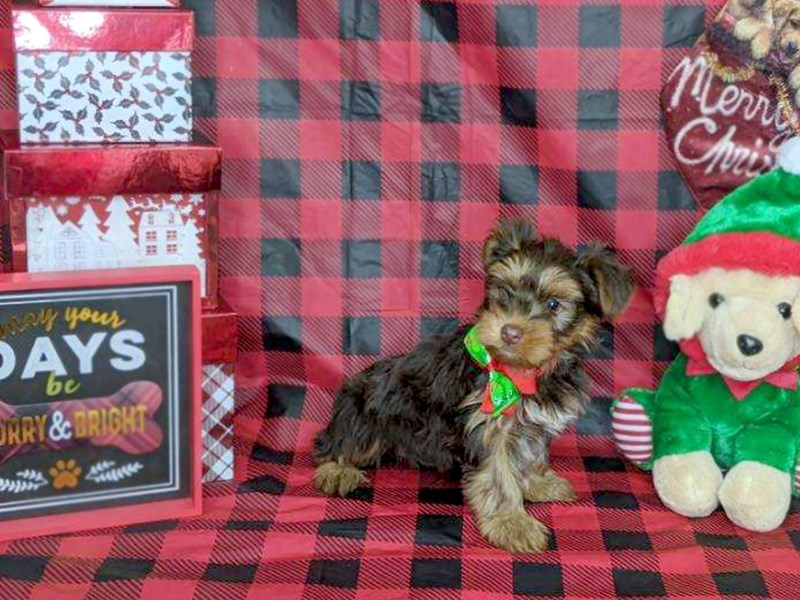 Yorkshire Terrier-Female-Choc Tan-2566604-Petland Athens, OH