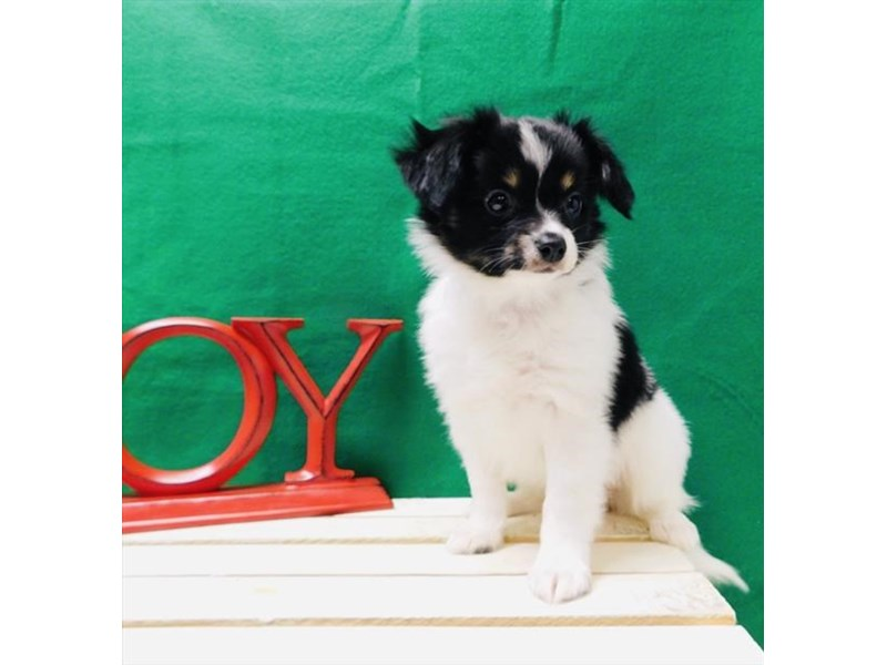 Papillon-DOG-Male-Black White / Tan-2574538-Petland Athens, OH