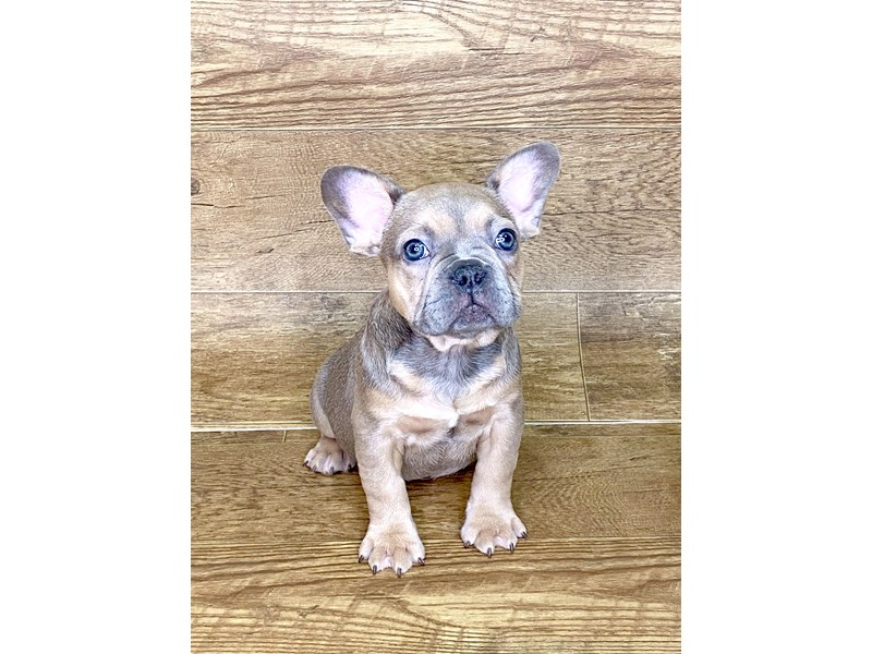French Bulldog-DOG-Male-BLUE-2576977-Petland Athens, OH