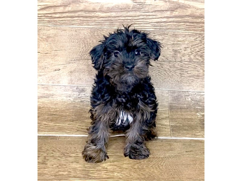 Yorkie Poo-DOG-Male-BLK TAN-2576872-Petland Athens, OH