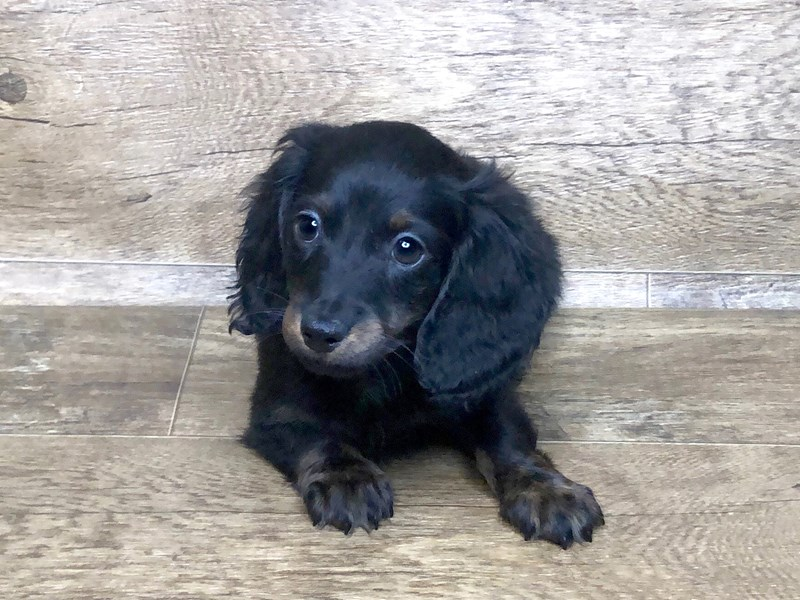 Dachshund-DOG-Male-RED-2582825-Petland Athens, OH