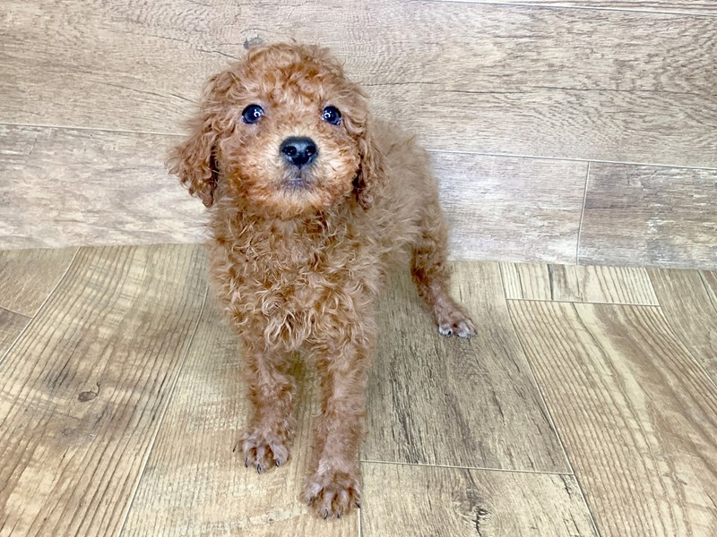 Poodle-Male-RED-2581823-Petland Athens, OH
