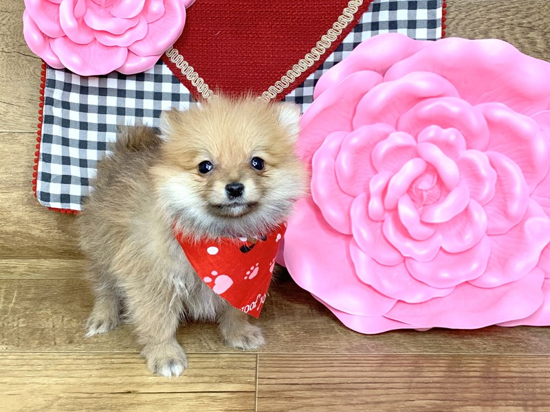 Pomeranian-DOG-Female-SABLE-2595564-Petland Athens, OH