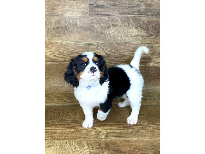 Mini Bernese-DOG-Male-Tri-2577019-Petland Athens, OH