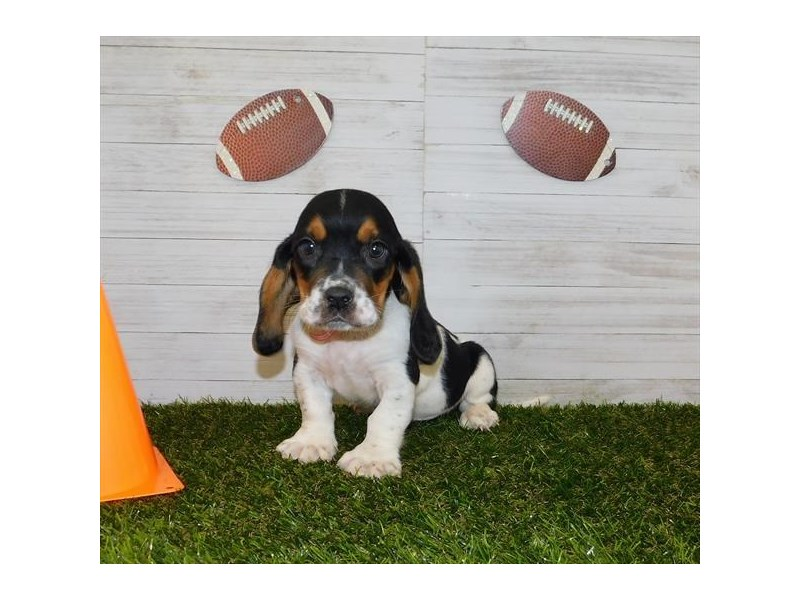 Basset Hound-Male-Black White / Tan-2599602-Petland Athens, OH