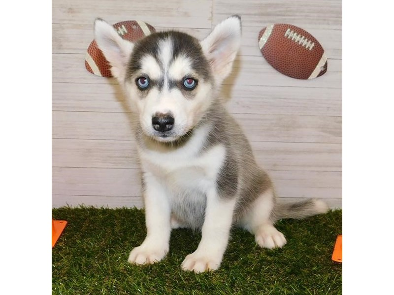 Siberian Husky-DOG-Female-Black / White-2599603-Petland Athens, OH