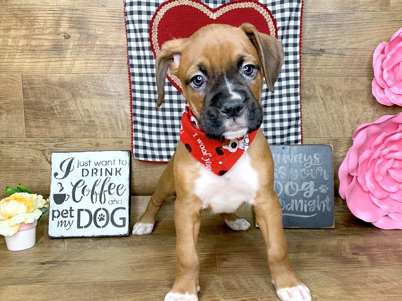 Boxer-DOG-Male-Fawn White-2603524-Petland Athens, OH