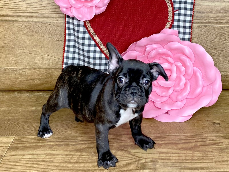 French Bulldog-Female-black  brindle-2607474-Petland Athens, OH