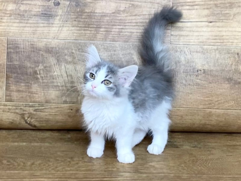 Adopt a Pet Domestic Short Hair-Female-long grey hair-2607356-Petland Athens, OH