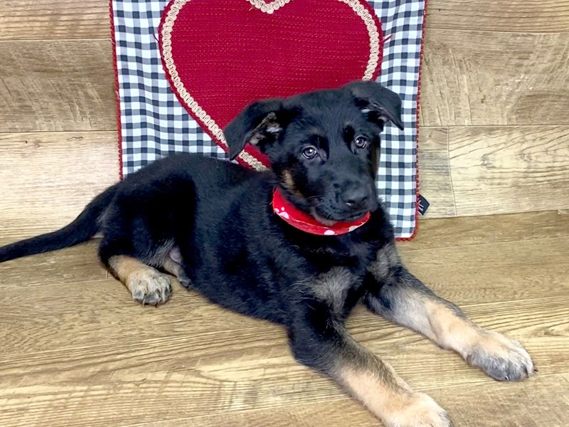 German Shepherd-Male-Black and Tan-2610763-Petland Athens, OH
