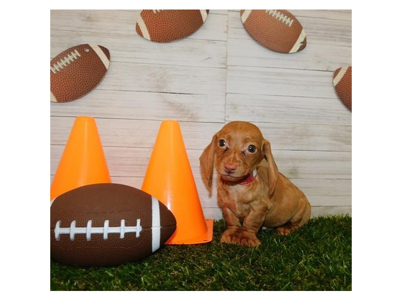 Dachshund-DOG-Male-Red-2614900-Petland Athens, OH