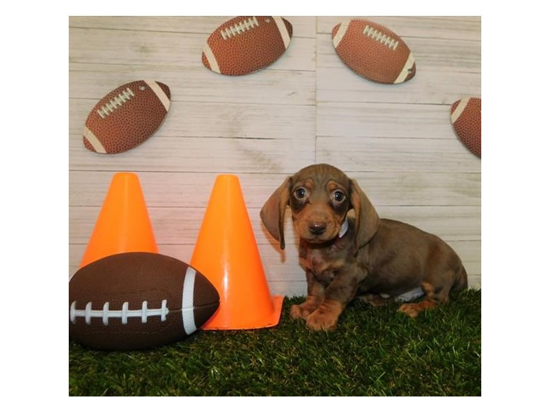 Dachshund-Male-Chocolate / Tan-2614901-Petland Athens, OH