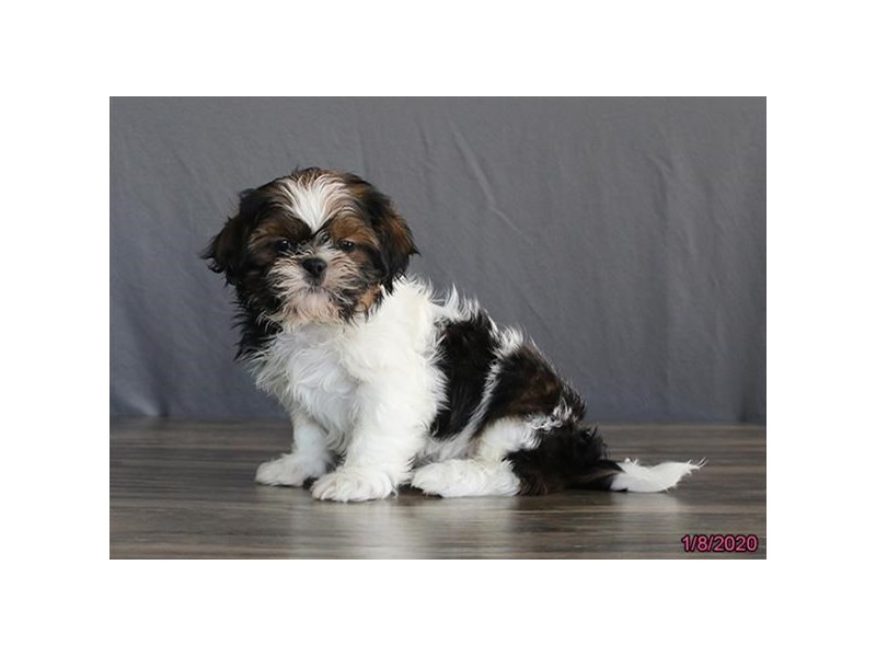 Shih Tzu-DOG-Male-Sable / White-2614917-Petland Athens, OH