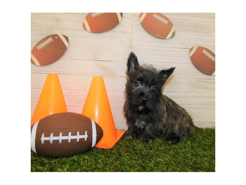 West Highland White Terrier/Cairn Terrier-Female-Brindle-2614927-Petland Athens, OH