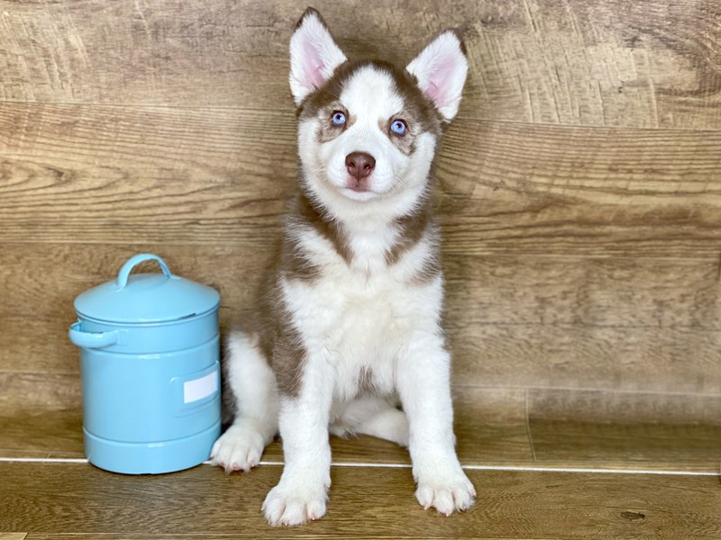 Siberian Husky-Female-Red & White-2624833-Petland Athens, OH