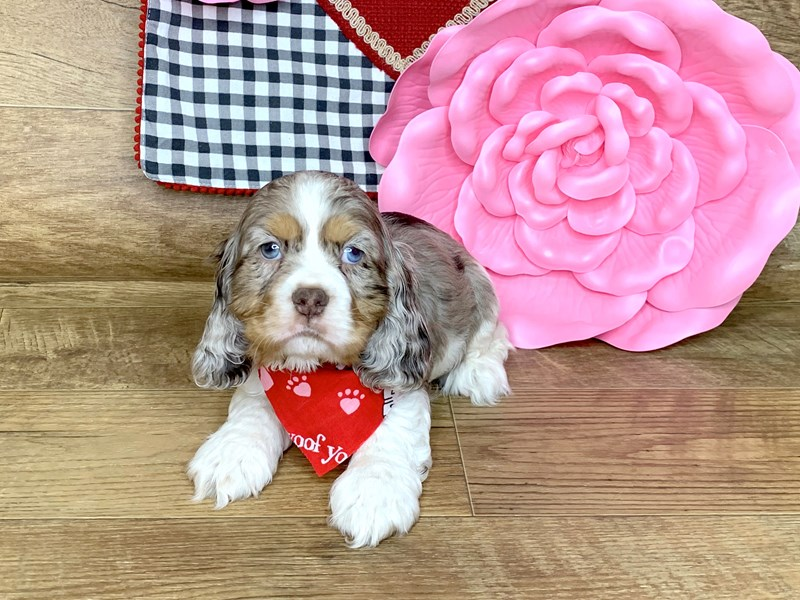 Cocker Spaniel-Male-CHOC MERLE PARTI-2595542-Petland Athens, OH