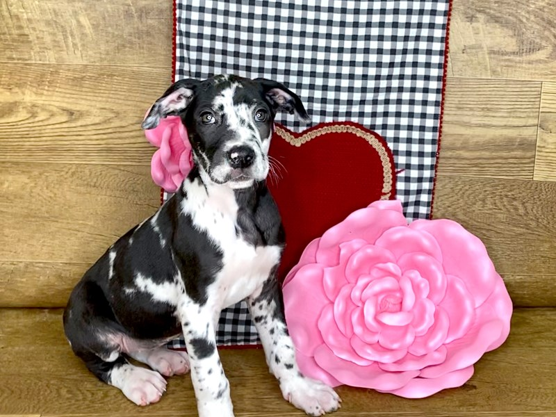 Great Dane-Female-Harlequin-2604605-Petland Athens, OH