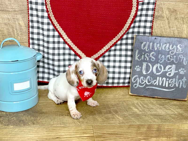Dachshund-DOG-Female-DAPPLE-2618103-Petland Athens, OH